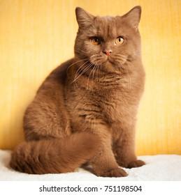 Cat, British short hair kitten, cinnamon color, orange eyes, indoor, portrait.