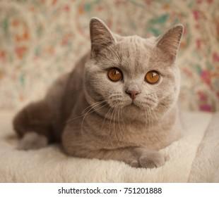 Cat, British short hair kitten, fawn color, orange eyes, indoor, portrait.