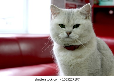 Cat British shorthair color silver chinchilla close-up. Lovely beast in office. Tricky green eyes, smile with long mustaches. Undercoat is white with predominantly black tipping. Strong and strong cat