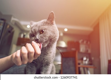cat caresses hand of woman, closeup,   sniffs the owner's finger