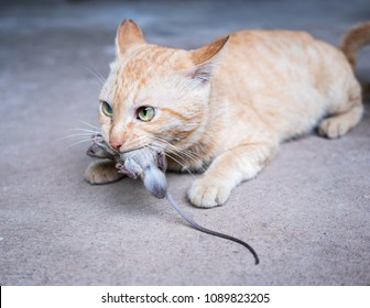 cat carrying a mouse in the house.