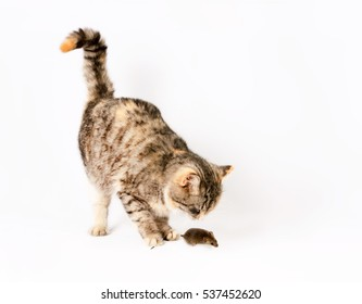 Cat caught the mouse by the tail. Isolated on white background