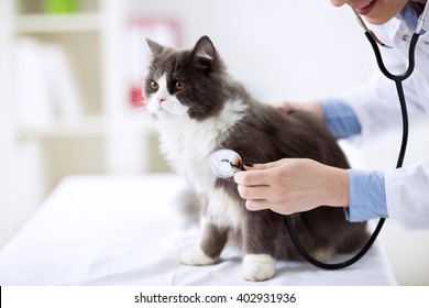 Cat check up at veterinarian office