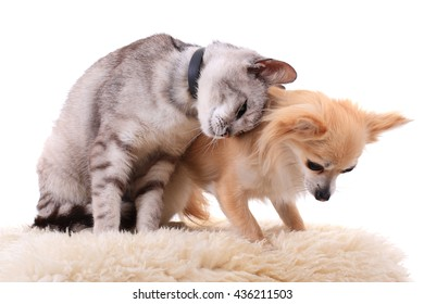 cat and chihuahua are resting isolated on the white background