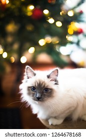 Cat in Christmas
