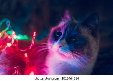 Cat and Christmas lights.