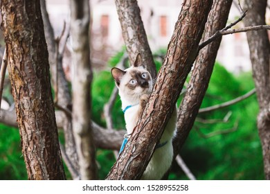 Cat climbing tree. cat hunts on tree. adorable cat portrait stay on tree branch. purebred shorthair cat without tail. Mekong Bobtail sitting on tree. animal hencat on branch in natural conditions.