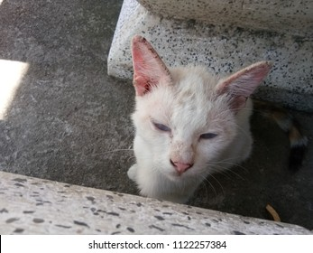 Cat with clinical sign of sarcoptic mange infection on face and ear.Sarcoptic mange or scabies is a contagious parasitic disease caused by mite called Sarcoptes scabiei that affects animals and people