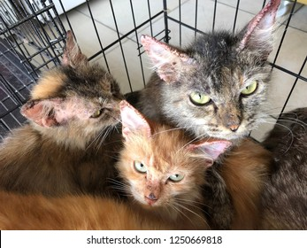 Cat with clinical sign of sarcoptic mange infection.Sarcoptic mange or scabies is a contagious parasitic disease caused by mite called Sarcoptes scabiei that affects animals and people
