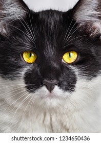 Cat closeup. front view