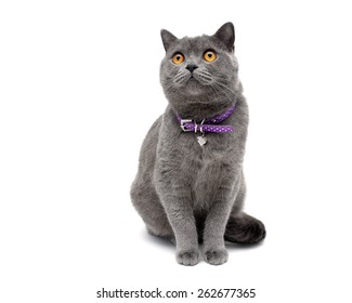 cat with a collar isolated on a white background close-up. horizontal photo.
