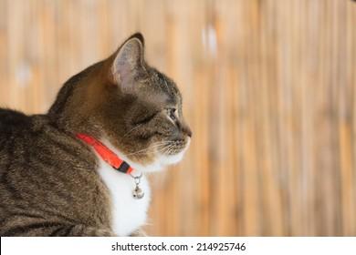cat collar portrait of a tiger cat wearing a orange securitiy collar