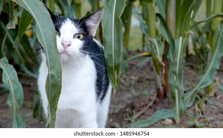 A cat in corn field