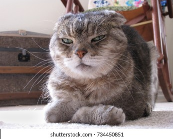 Cat with Cranky Grumpy Expression and Folded Paws Gazes at Camera