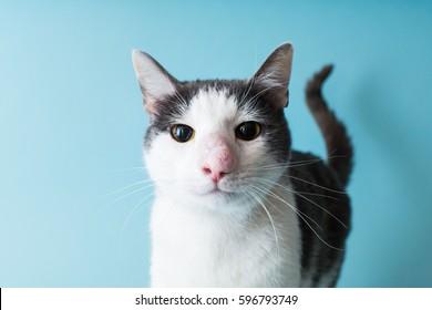 cat with cryptococcus
