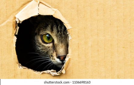 cat curiously looks out from a dark hole in a cardboard box