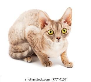 Cat Devon Rex on white background
