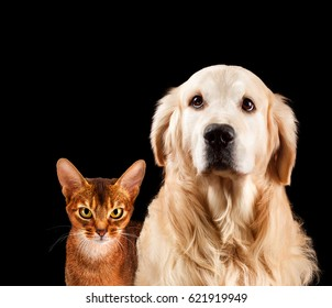 Cat and dog, abyssinian kitten and golden retriever