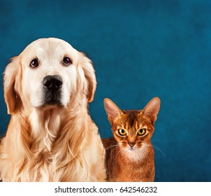 Cat and dog, abyssinian kitten , golden retriever. Sad anxious expression