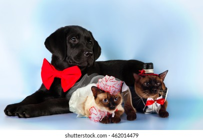 cat and dog, couple of mekong bobtail cats in wedding costumes, black labrador, groom , bride on blue background