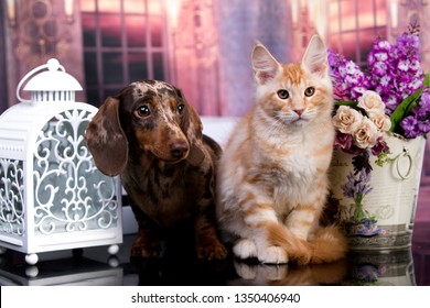 cat and dog, dachshund puppy chocolate color and kitten red