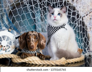cat and dog, dachshund puppy chocolate merle color and kitten regdoll, kitten and puppy