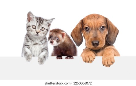 Cat, dog and ferret over white banner. isolated on white background