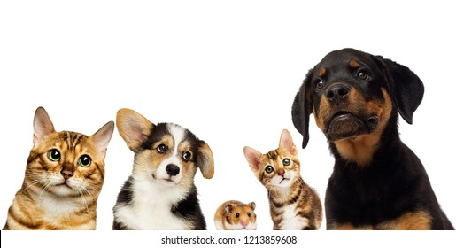 cat and dog group watching together on a white background