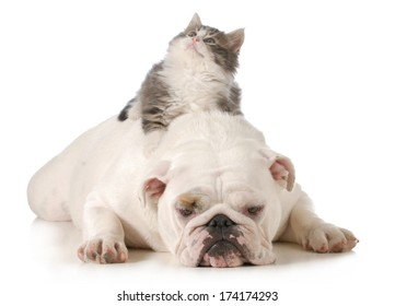 cat and dog - kitten laying on english bulldogs back isolated on white background