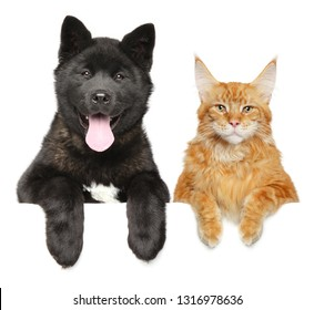 Cat and dog together above banner, isolated on white background. American Akita puppy and Maine Coon cat. Animal themes