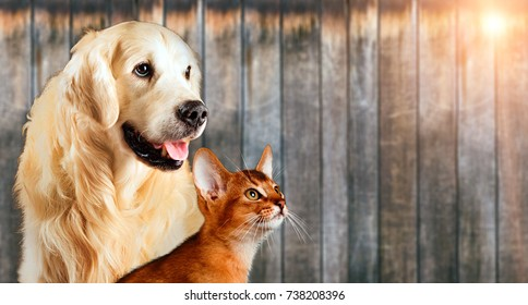 Cat and dog together, abyssinian cat, golden retriever look at right with sticking out tongue