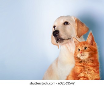 Cat and dog together, maine coon kitten, golden retriever looks at left