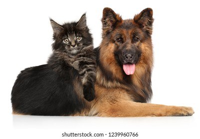 Cat with dog together, Maine-coon kitten posing riding a German shepherd on white background. Animal themes