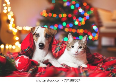 Cat and dog under a christmas tree. Pets under plaid.