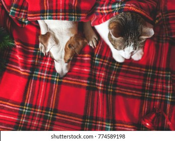 Cat and dog under red plaid. Pets.