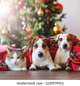 Cat and dogs under a christmas tree. Pets under plaid
