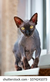 cat of the Don Sphynx walks on the windowsill outside the window and basks in the sun.