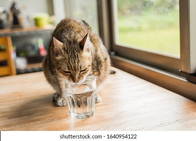 cat drink water on the table at home