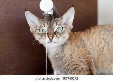 Cat is drinking fresh water from the faucet. Portrait of a cat trying to drink from the faucet. Devon rex