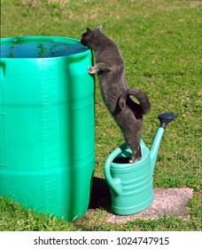 Cat drinking from water barrel