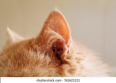 cat ear, cat , ear