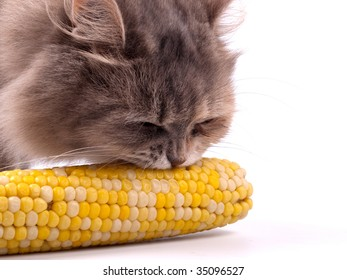 Cat eating corn in cob isolated on white background