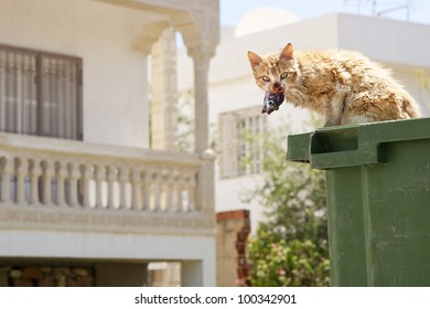 Cat eating fish from a garbage can. Looking up with fish in mouth.