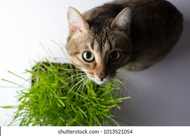 The cat is eating the grass