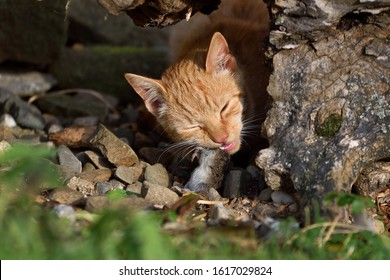 Cat eats a caught mouse. Outdoor cat in the garden.