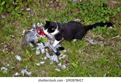 cat eats a pigeon that has just hunted,