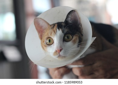 A cat with Elizabethan collar after surgical operation in the doctor's hands