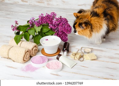 Cat explores spa cosmetics with milk and lilac flowers. Pet near bath and vody care products. Bath salt, soap, cream, oil, serum and towel rolls on wooden rustic background. Organic natural cosmetics