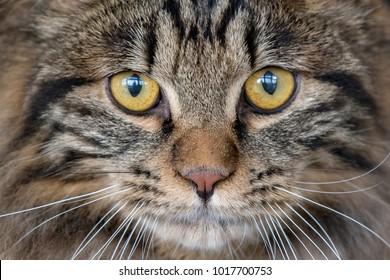 Cat eyes looking at you close up detail