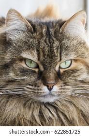 cat face, long haired siberian cat, brown mackerel